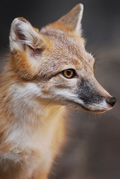 Swift Fox - Vulpes velox - Found in Central, USA Most Beautiful Animals, Beautiful Creatures, Bat Eared Fox, Swift Fox, Fennec, Fantastic Fox, Amazing, African Wild Dog, Foxes Photography