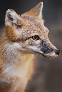 Swift Fox - Vulpes velox - Found in Central, USA