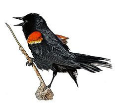 National Bird Project - Canadian Geographic - Vote for Canada's national bird Red Winged Blackbird Red Wing Blackbird, How To Level Ground, Creatures, Birds, Illustration, Projects, Animals, Image, Art