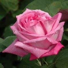 """Mrs John Laing"" (Shrub Rose)"