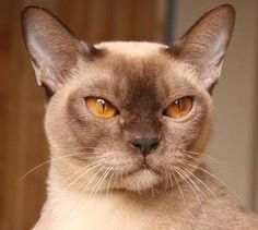 Burmese cat I'm gonna be honest, I only pinned this bc the eyes totally freak me out! Lol