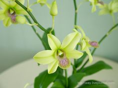 OrchidDendrobium Green by Torchway. cold porcelain flowers but i can see them in polymer.
