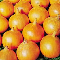 Onion Bedfordshire Champion Seed: Globe-shaped maincrop for spring sowing. A solid onion which keeps well.