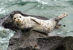 Babysitting Seals in Seattle. Wildlife photographer Robin Lindsey, has become a nanny of Seattle's waterfront, taking care of just-weaned (and totally tuckered-out) seal pups. Seattle Waterfront, Harbor Seal, Fancy Rat, Seal Pup, Phillips Island, Babysitting, Good Job, Natural World, Under The Sea