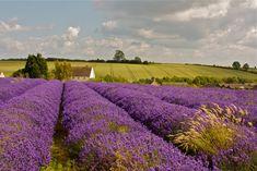 Cotswolds Lavender fields uploaded by heather gerni Lavander, Lavender Fields, Vivid Colors, Wild Flowers, Find Image, Wedding Planner, Vineyard, Stylists, Landscape