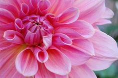 Flor, Rosa, Naturaleza, Pétalos