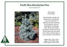 Pinus-peuce-Pacific-Blue