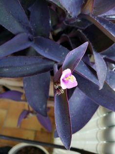 Fleur de Misère pourpre - Tradescantia pallida Nature, Pools, Swimming, Deco, Gardens, Purple, Flowers, Green Plants, Naturaleza