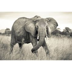 Komar Fototapete Elephant 248 cm L x 368 cm B National Geographic Embossed Wallpaper, Wallpaper Panels, Home Wallpaper, Wallpaper Murals, National Geographic, Elephant Afrique, High Contrast Images, Sepia Color, Brewster Wallpaper