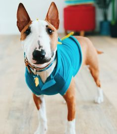 Mini Bull Terrier Puppies, Bully Terrier, English Bull Terriers, Dogs And Puppies, Best Dog Breeds, Best Dogs, I Love Dogs, Cute Dogs, Blue Pitbull