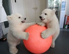Twin Polar Bears