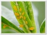 How can I kill yellow aphids on my milkweed without harming Monarch butterfly caterpillars? What can I do about spider mites on my plants without killing butterfly caterpillars? Some answers are wonderful, some answers are only partially acceptable, and some answers aren't acceptable at all!t