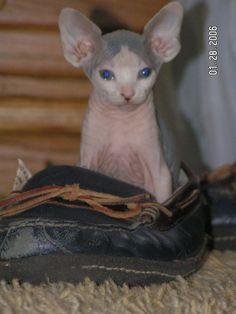 Sphynx Cat Kittens