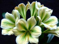 Clivias in flower at Utopia