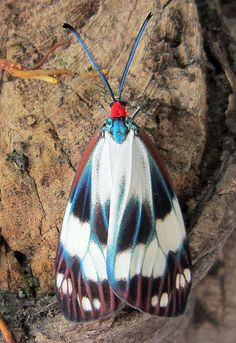 Chalcosia thaivana owadai Urban Moth | Flickr - Photo Sharing!