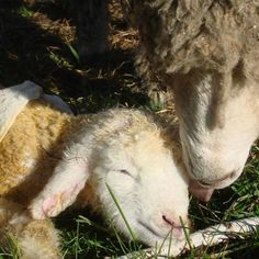 Sheep make excellent orchard-rejuvenation partners: gentle on the trees and good at mowing overgrown grass.
