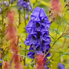 Aconitum carmichaelii 'Arendsii', Monkshood 'Arendsii', Monk's Hood 'Arendsii', Aconite 'Arendsii', Wolfsbane 'Arendsii', Fuzi 'Arendsii', Monk's blood 'Arendsii', Blue flowers, Purple Flowers