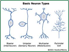 Neurons have different shapes depending on their functions. Interneurons carry information between motor and sensory neurons. Sensory neurons carry information to the central nervous system. Motoneurons carry signals from the central nervous system to the muscles, skin, and glands and pyramidal neurons are involved with motor control and cognitive ability. http://health.howstuffworks.com/human-body/systems/nervous-system/brain-pictures24.htm