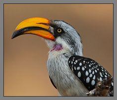 Eastern Yellow-billed Hornbill male