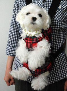 Maltese #dogs #Maltese #Maltipoo #teacupmaltipoo #cute #smalldogs