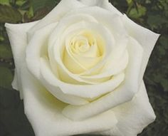 White Chocolate - Standard Rose - Roses - Flowers by category | Sierra Flower Finder