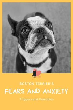 Are Boston Terriers Nervous Dogs? Triggers and Remedies #bostonterrier #bostonterrierbreed #bostonterriercare #bostonterrierfacts #bostonterriertips #bostonterrierhealth #bostonterriersaspets #bostonterrierdog #bostonterrierpet #bostonterrierbehaviour #bostonterrierpersonality #bostonterriertemperament #bostonterrierowner #owningabostonterrier #dogfears #dogfearofpeople #dogfearofthunder #dogfearofstrangers #doganxiety #dogseparationanxiety #dogseparationanxietyremedies #dogphobias Boston Terrior, Boston Terrier Dog, Dog Separation Anxiety, Dog Anxiety, Boston Terrier Temperament, Shock Collar, Dog Behavior, New Puppy, Boston Terrier
