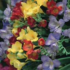 "Freesia mix  - planted bulbs May 2013.  Full sun; Grows to be 18"" H x 2"" W.  Easy to grow & low care & maintenance.  Blooms in the summer.  Great for their fragrance & as cut flowers."