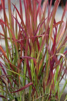 Imperata cylindrica 'Red Baron' - Græsser - Home & Garden Baron, Home And Garden, Landscape, Plants, Scenery, Corner Landscaping