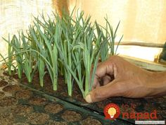Growing Carnations, Herbs, Plants, Gardening, Balcony, Lawn And Garden, Herb, Plant, Planets