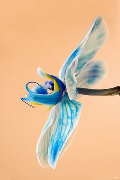 Light Blue Orchid