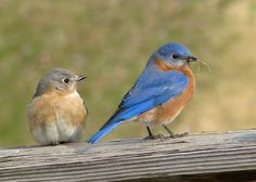 The bluebird is  the NY State bird. I've lived here all my life but have never seen one. I saw my first one...in Texas. Another reason to love TX!