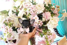 ♥♥♥ Teacup Chihuahuas! ♥♥♥ Bring This Perfect Baby Home Today! Call 954-353-7864 www.TeacupPuppies... ♥ ♥ ♥ TeacupPuppiesStore - Teacup Puppies Store Tea Cup