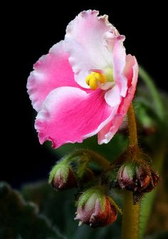 Pink and White African Violet with Back Light by Picture Zealot, via Flickr