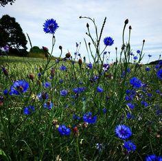 Vestfynske kornblomster #tv2vejret #fyn #nature #visitdenmark #naturelovers #natur #denmark #danmark #dänemark #landscape #nofilter #assens #mitassens #sonnenshein #opdagdanmark #fynerfin #assensnatur #vielskernaturen #visitassens #instapic #picoftheday #june #kornblomst #flora #fields #sommer #flowers