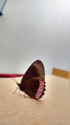 Black-pink butterfly on the wall