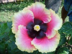 Hibiscus 048 for sale  We are selling all types of plants.  For more details: http://www.agribazaar.co/index.php?page=item&id=1342   When you call don't forget to mention that you found this ad on www.agribazaar.co