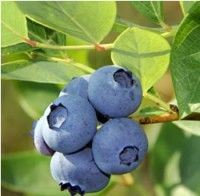 Blueberry - Jersey   Your Jersey Blueberry is of course most valued for its tasty fruit.  The dark, blue clusters of large berries ripen in August. The berries are crack-resistant, firm and deliciously sweet.  It's an excellent baking berry, as well as perfect for many culinary uses…or eaten directly off the bush