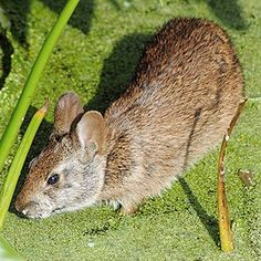 This is a lower Keys marsh rabbit. There are only a few hundred of them and they live on Boca Chica, Sugarloaf and Big Pine Key. Key West Florida, Florida Style, Florida Keys, Big Pine Key, Moss Garden, Types Of Animals, Florida Travel, Low Key, Boca Chica