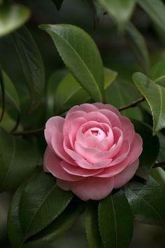Pink Camellia by Tsuguharu Hosoya Botanical Flowers, Flowers Nature, Tropical Flowers, Beautiful Roses, Pink Flowers, Beautiful Flowers, Camellia Plant, Arte Sketchbook, Flower Pictures