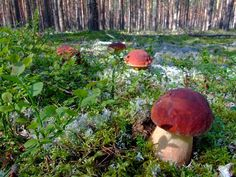 Boletus #белый гриб #грибы #боровик, #mushrooms #Fungi #porcini #cep #Steinpilzen #bolet