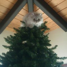 The reason for the lack of ornaments for a few days :) she did that all by herself!