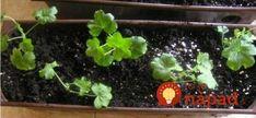 Toto mi funguje už roky: Tajomstvo, ako vypestovať z multiplata najkrajšie muškáty na celej ulici – kvitnú mi až do prvých mrazov! Herbs, Plants, Herb, Plant, Spice, Planting, Planets