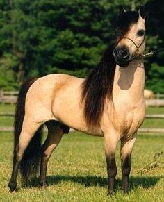 mini buckskin beauty