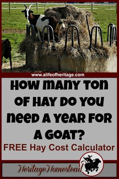 Use this FREE Hay Cost Calculator. How much hay do I need for my goat? This will help you make a plan and know how much hay to buy a year.