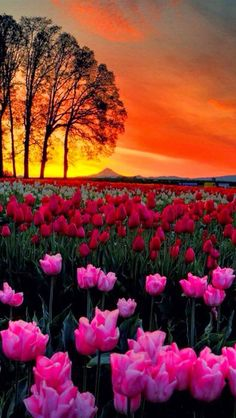 Colorful Tulips and Sunset