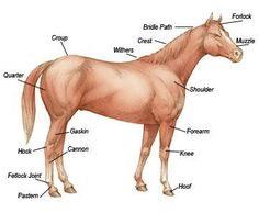 When you are ready to buy a horse, you should always have a vet check for age, general condition, skin and coat health, muscular and skeletal issues, including conformation, and parasites. Read more at Tractor Supply Co.