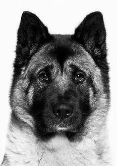 My dog its a American Akita American #Akita Dog #dog #akita #animal