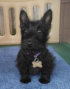 Dallas, TX - Scottie, Scottish Terrier. Meet Skye - Medical Hold a Dog for Adoption.