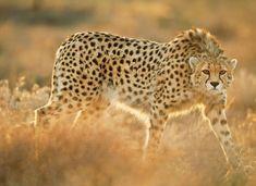 National Geographic, Cheetahs, Asiatic Cheetah, Frans Lanting, Big Cats, Animal Photography, Wildlife Photography, Animals Beautiful, Adorable Animals