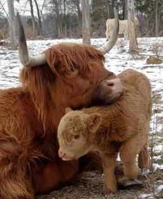 A Highland Cow With Her Calf.